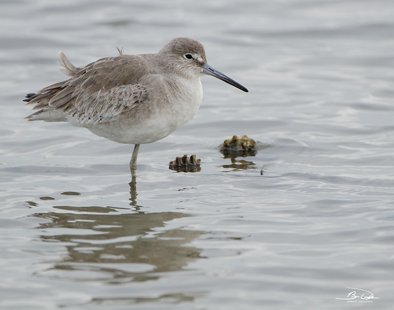 Willet found at Bolivar Peninsula, Texas Gulf Coast January 2017