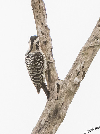 Ladder-Backed Woodpecker discovered at Sabal Palm Sanctuary in Brownsville, Texas December 2017